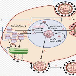 Penjelasan Replikasi Virus Dilakukan Dalam Sel Hidup Lengkap