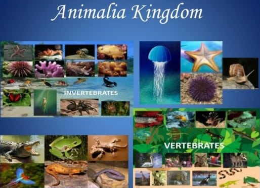 Kingdom-Animalia