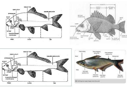 Ciri Umum Ikan (Pisces)