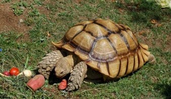 African Spurred Tortoise (Centrochelys sulcata