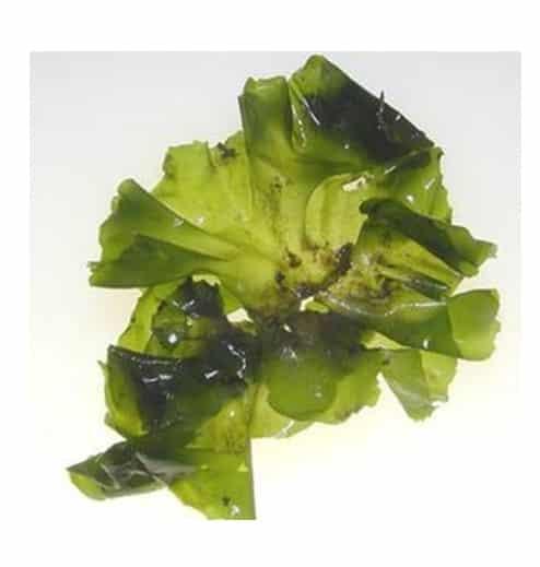 Filum Alga Hijau (chlorophyta)
