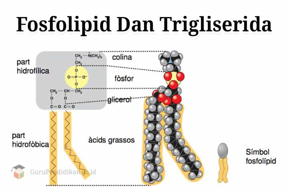 Fosfolipid-Dan-Trigliserida