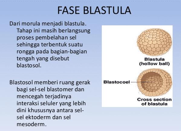 Fase-Blastula