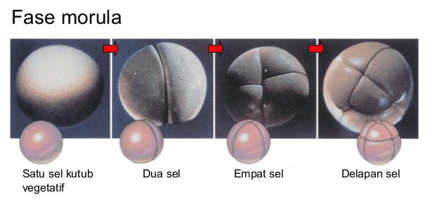 Fase-Morula