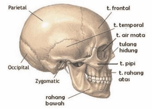 Tulang Tengkorak Bagian Kepala